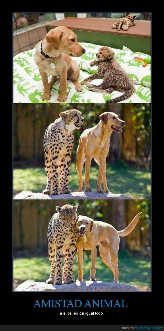 cuantarazon, guepardo perro, socialización
